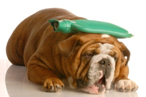 english bulldog with green hot water bottle on head - suffer a migraine